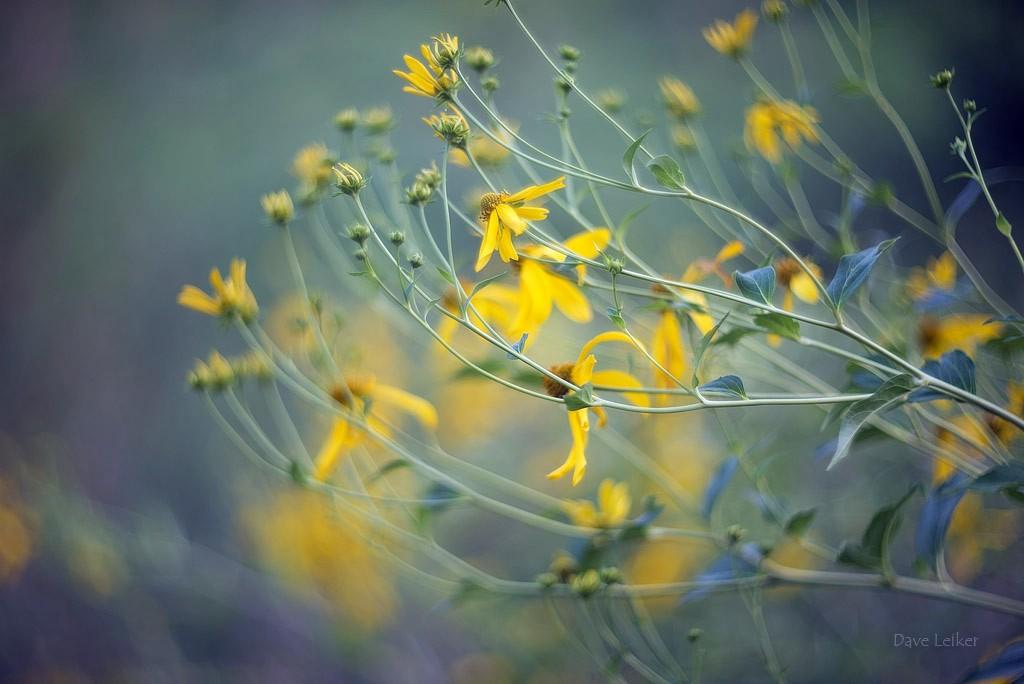 Golden glow wildflower